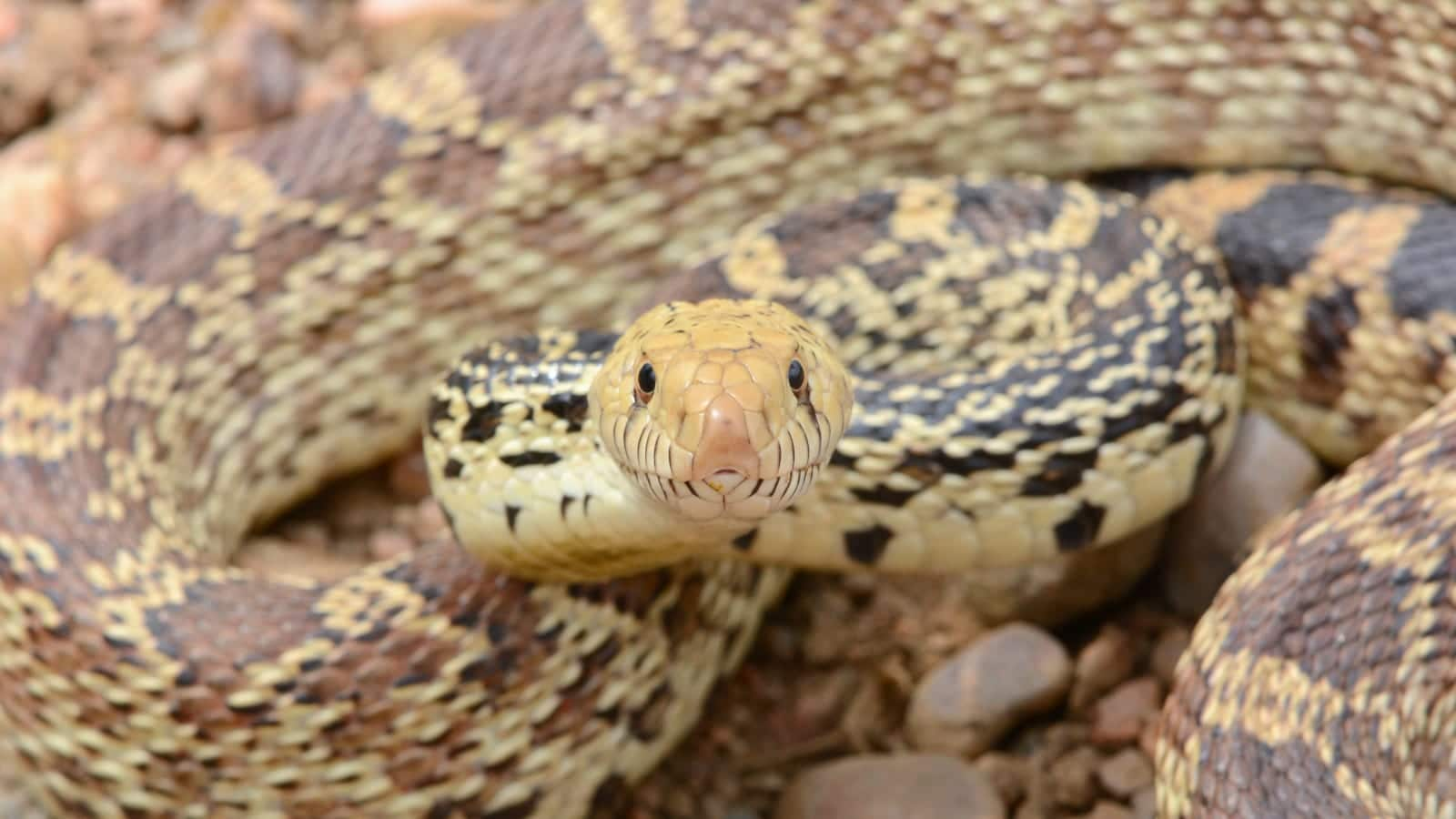 Colorado Snake Species Bullsnake Weld County