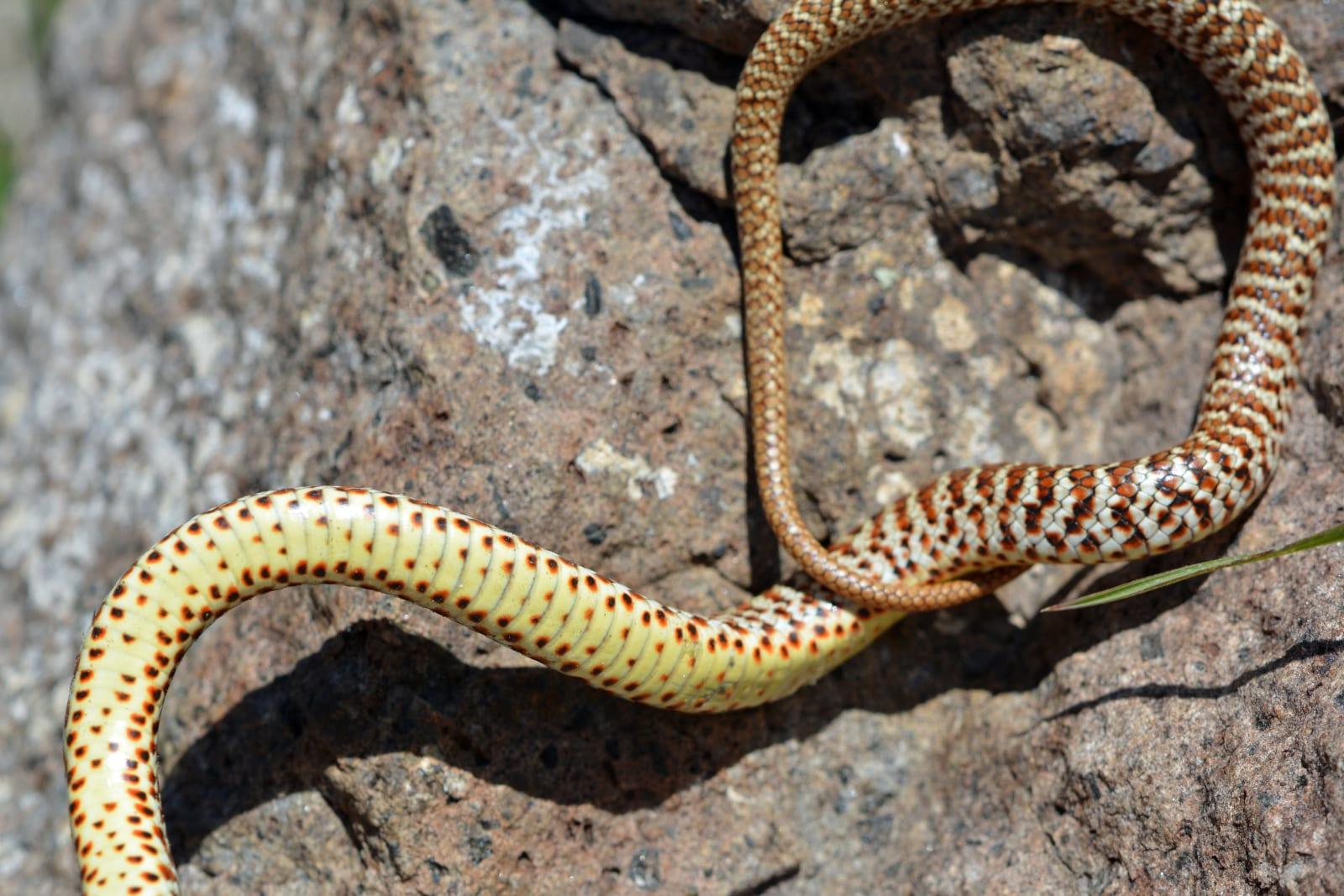 Eastern Yellow Bellied Racer Jefferson County Colorado Snake