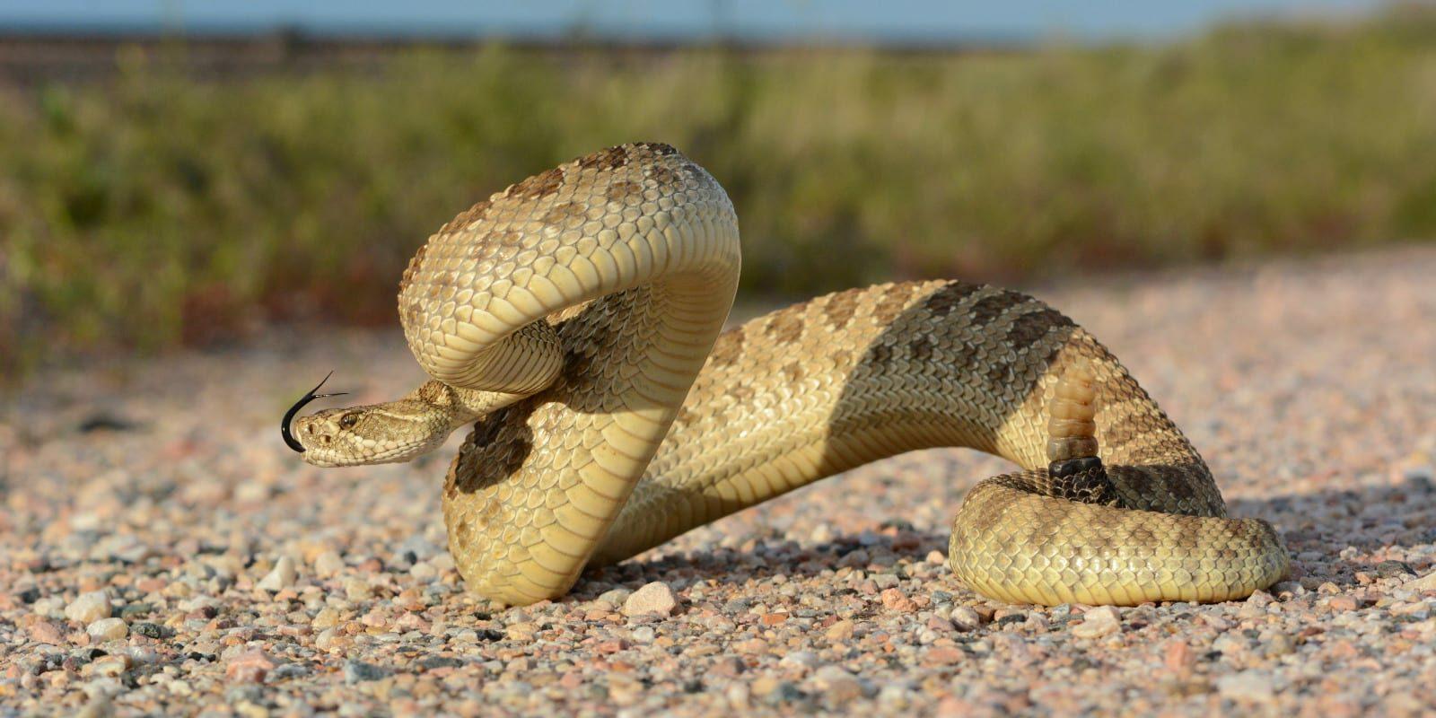 Colorado Snakes Prairie Rattlesnake Weld County