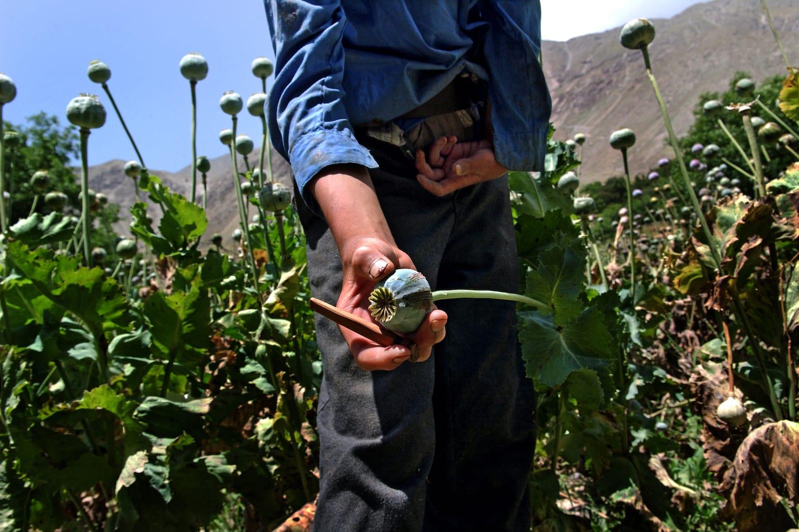 Opium Poppy Field Afghanistan Close Up