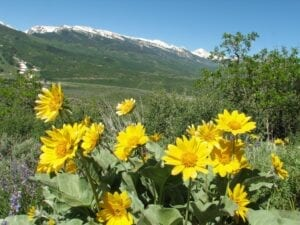 Sunnyside Trail Aspen Colorado Sun Flowers
