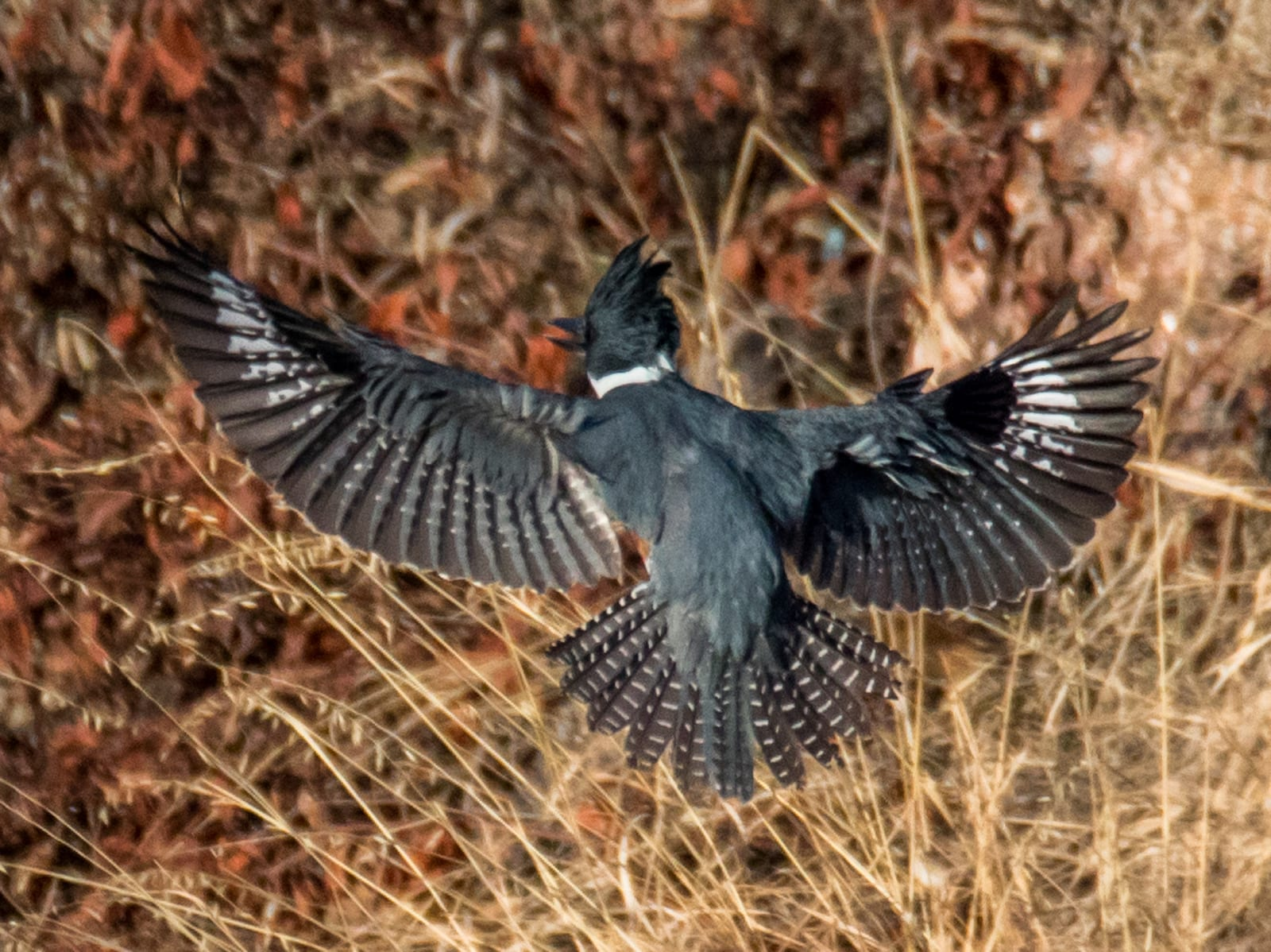 Belted Kingfisher, Colorado