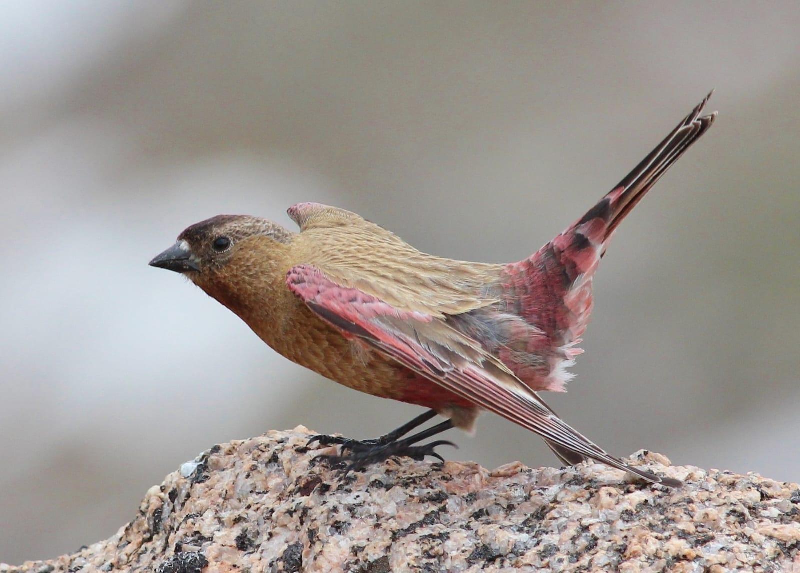Brown-capped Rosy Finch, Colorado
