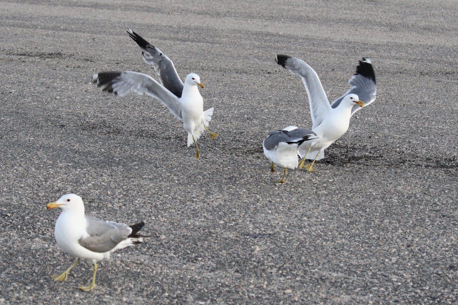 California Gull Birds at Eleven Mile Colorado State Park, CO