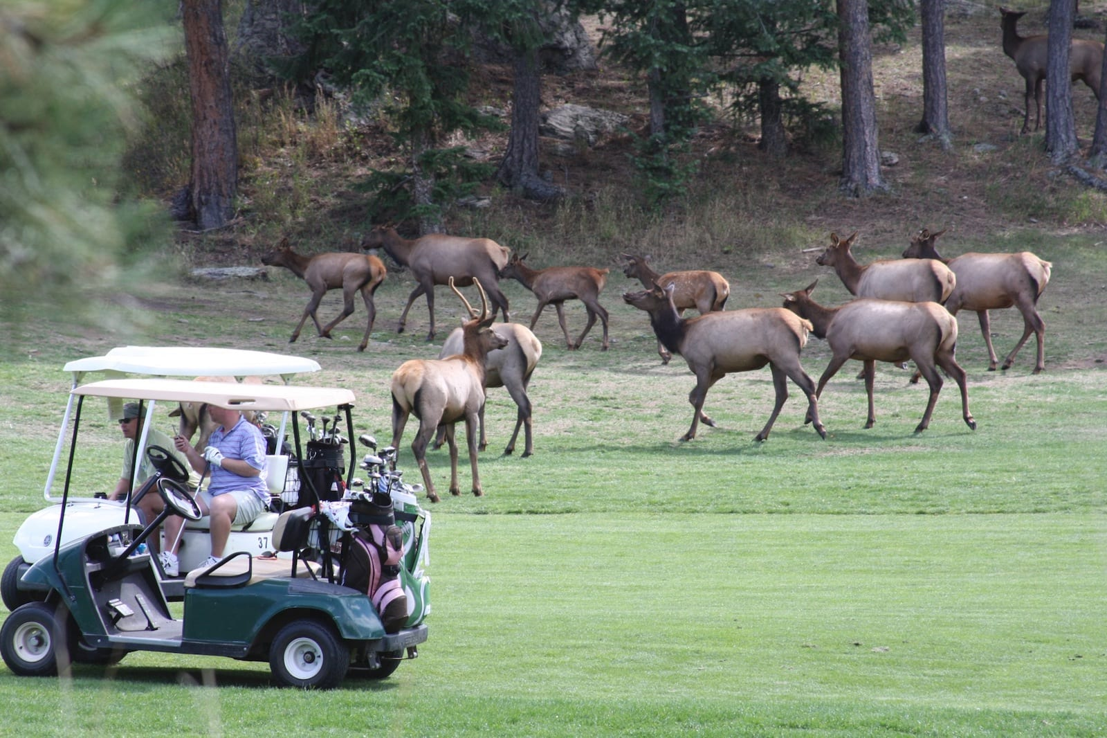 Elk on the golf course at Evergreen CO