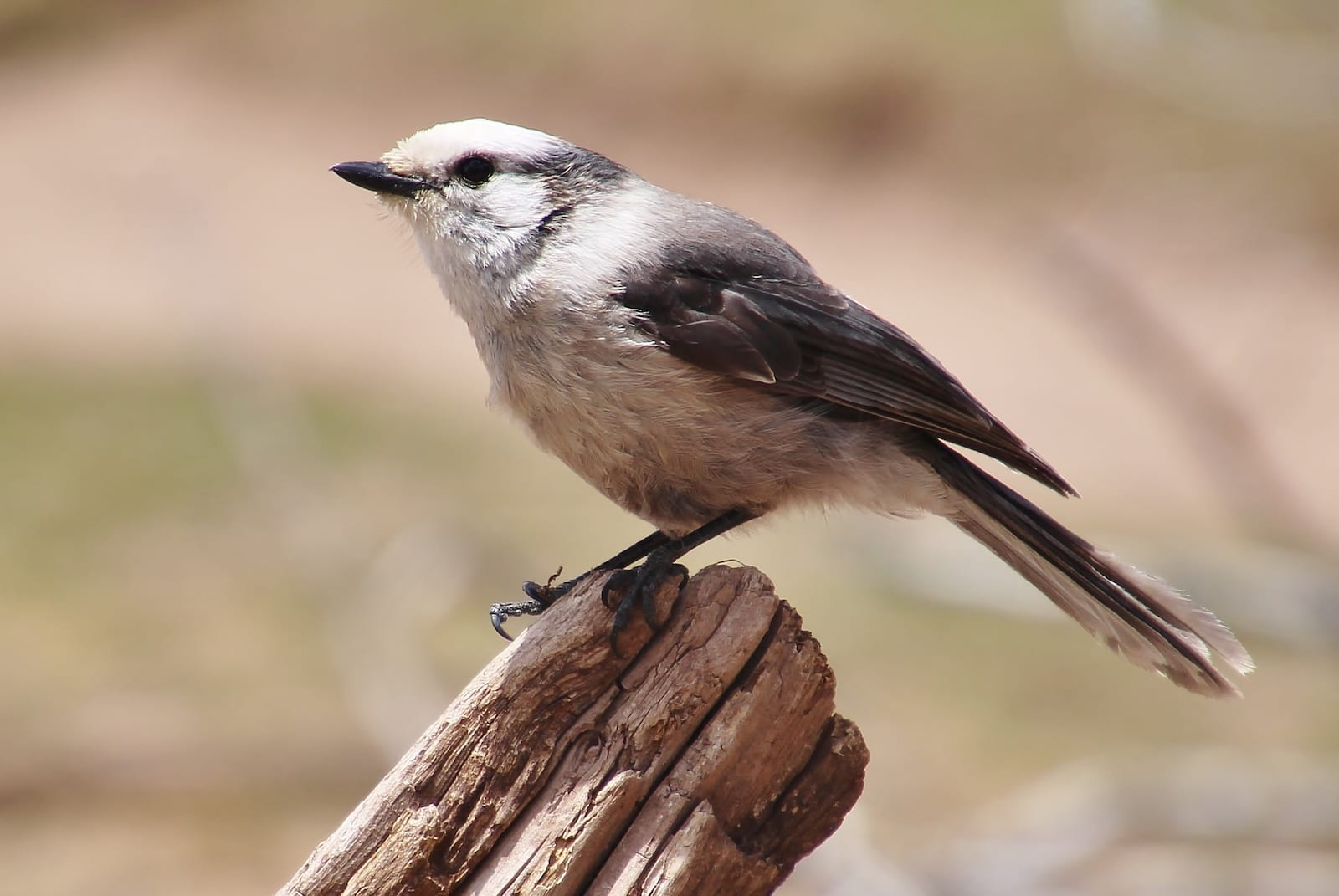 Gray Jay, Colorado