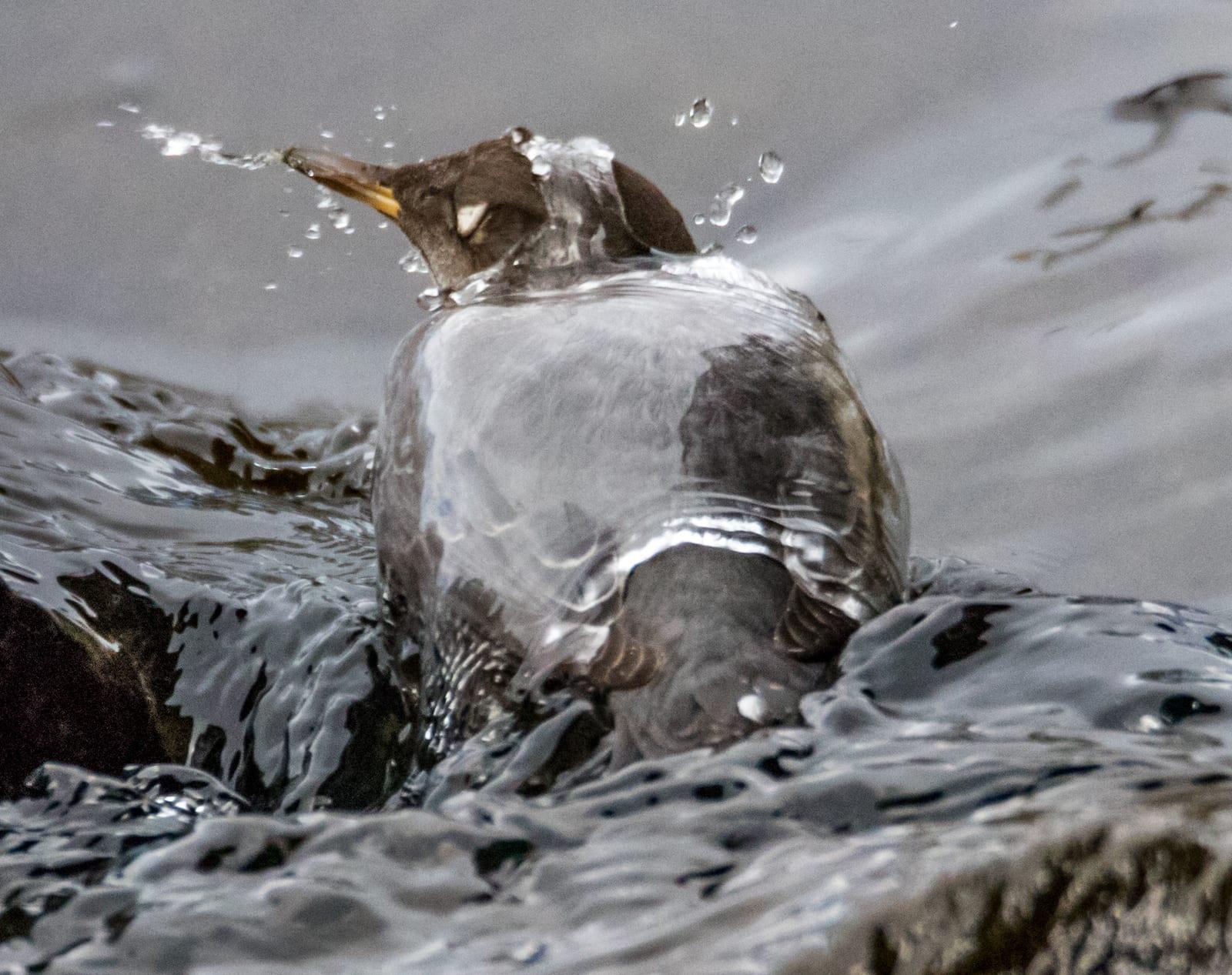 American Dipper, Colorado