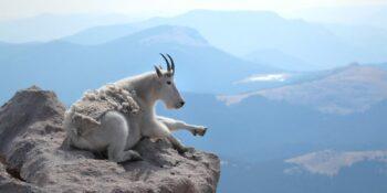 Mt Evans Mountain Goat Overlook Colorado