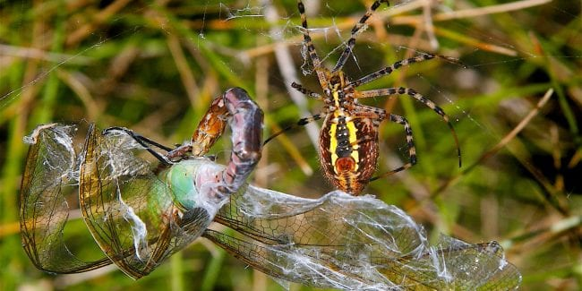 Banded Garden Spider Feasts on a Green Darner Dragonfly