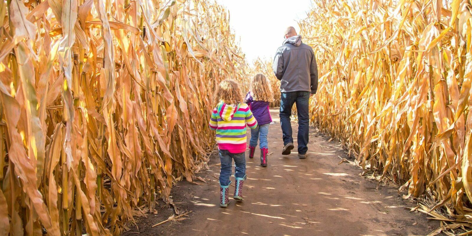 image of people walking through a corn maze