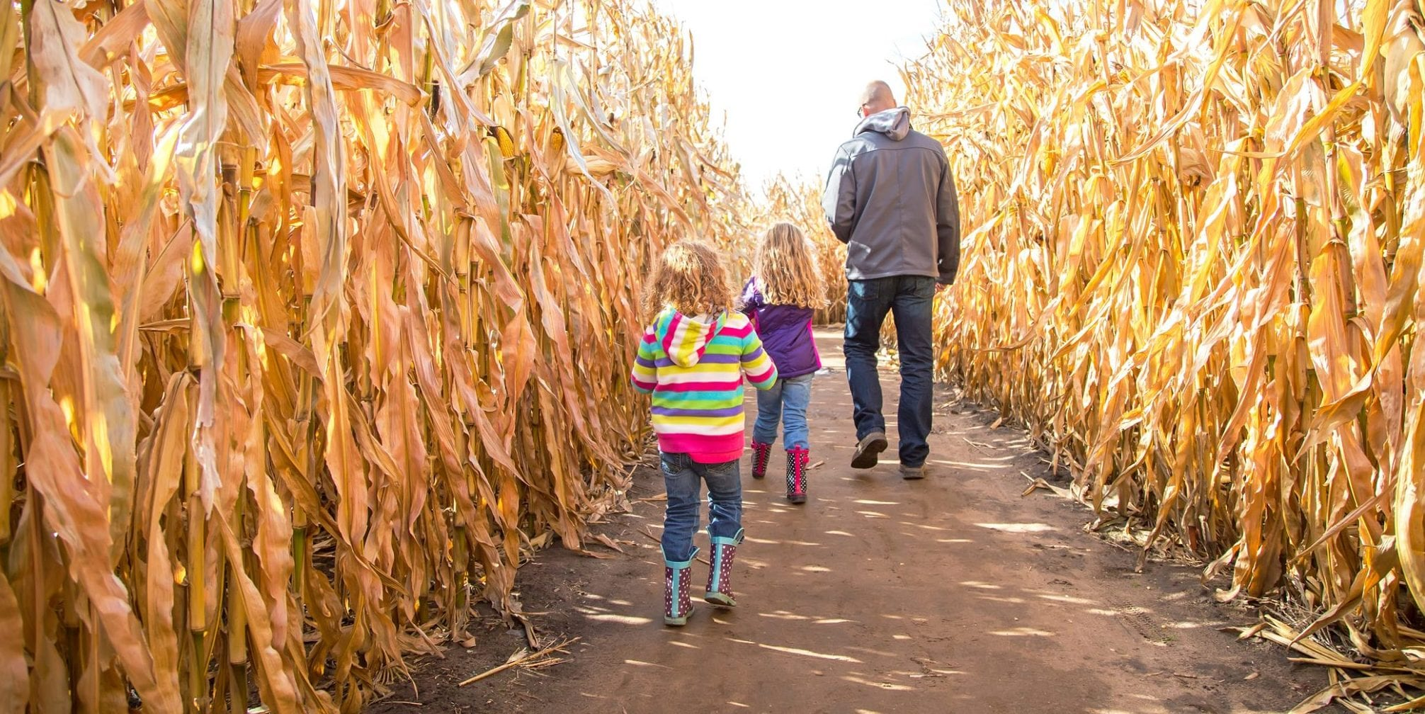 image of people walking through a corn maze