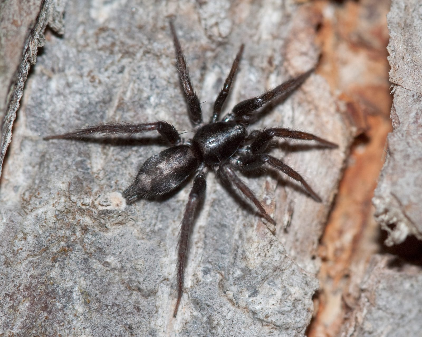 Eastern Parsons Spider