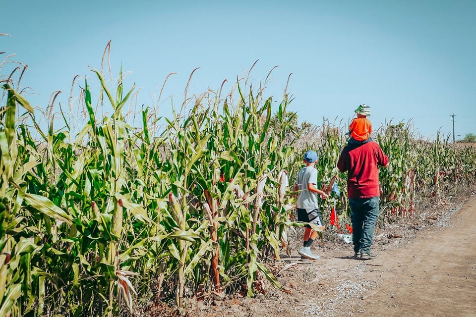 image of people walking throuhg a corn field