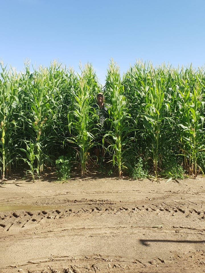 image of corn stalks