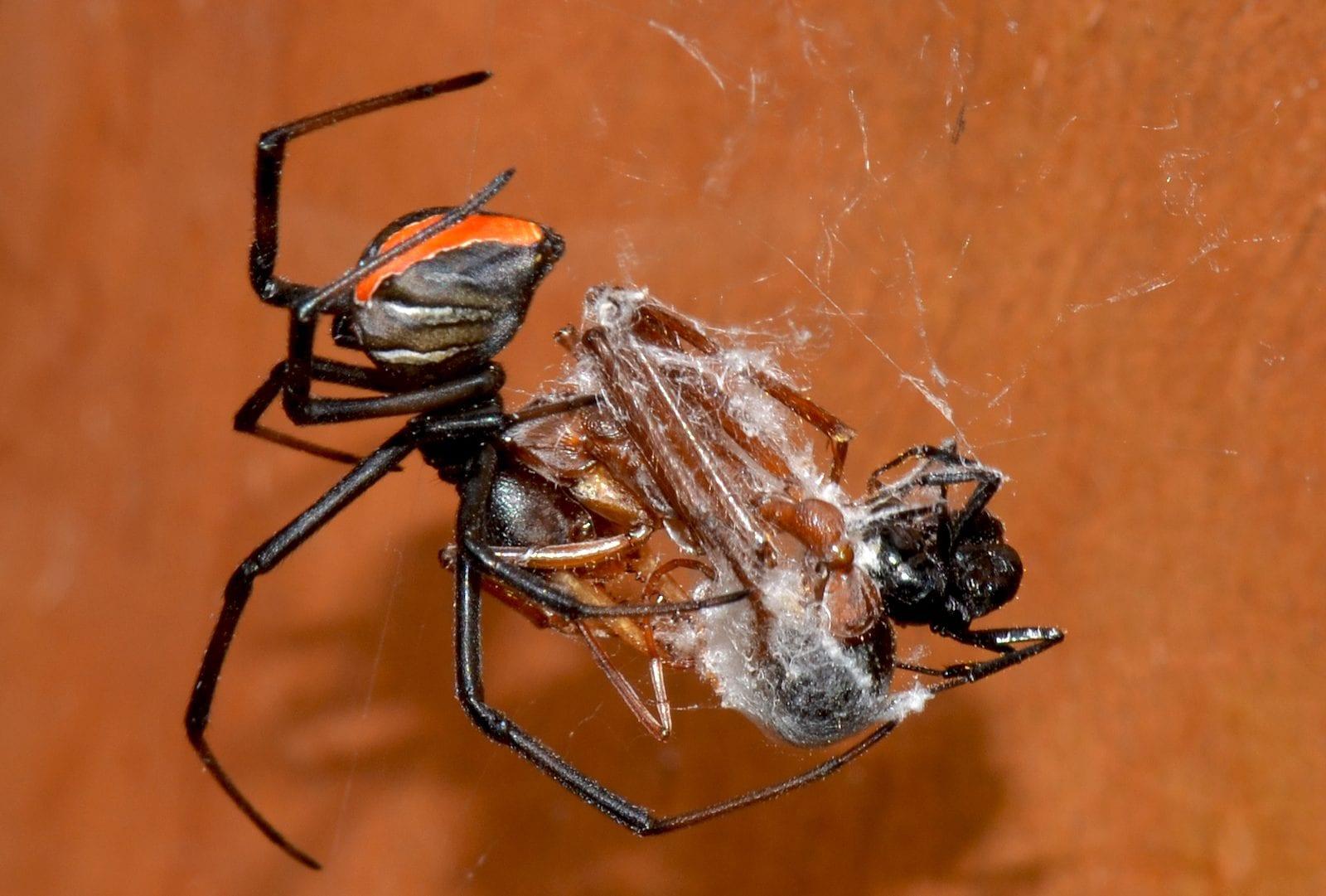 Redback spider eats bullant