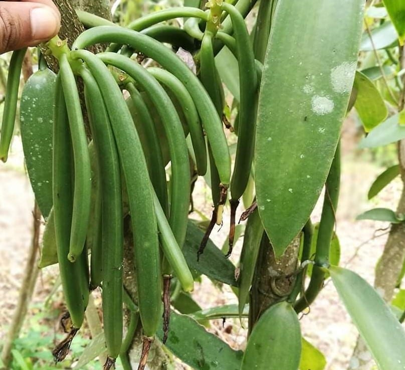 Vanilla Beans Indonesia