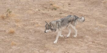 image of eastern gray wolf