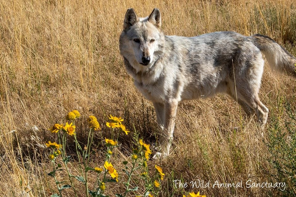 image of wolf at wild animal sanctuary