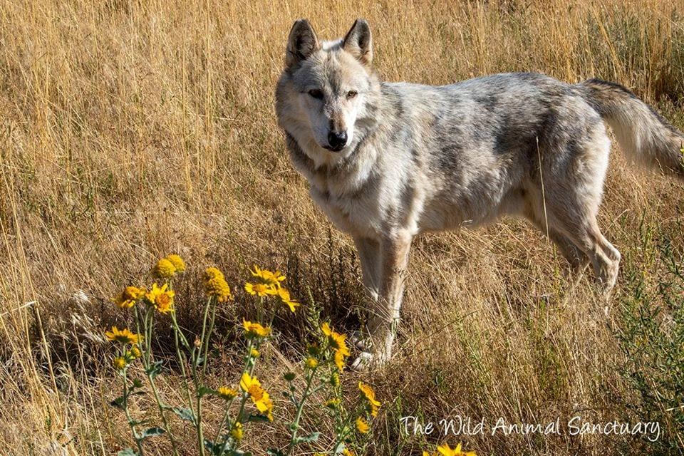 image of wolf at wild animal sanctuary