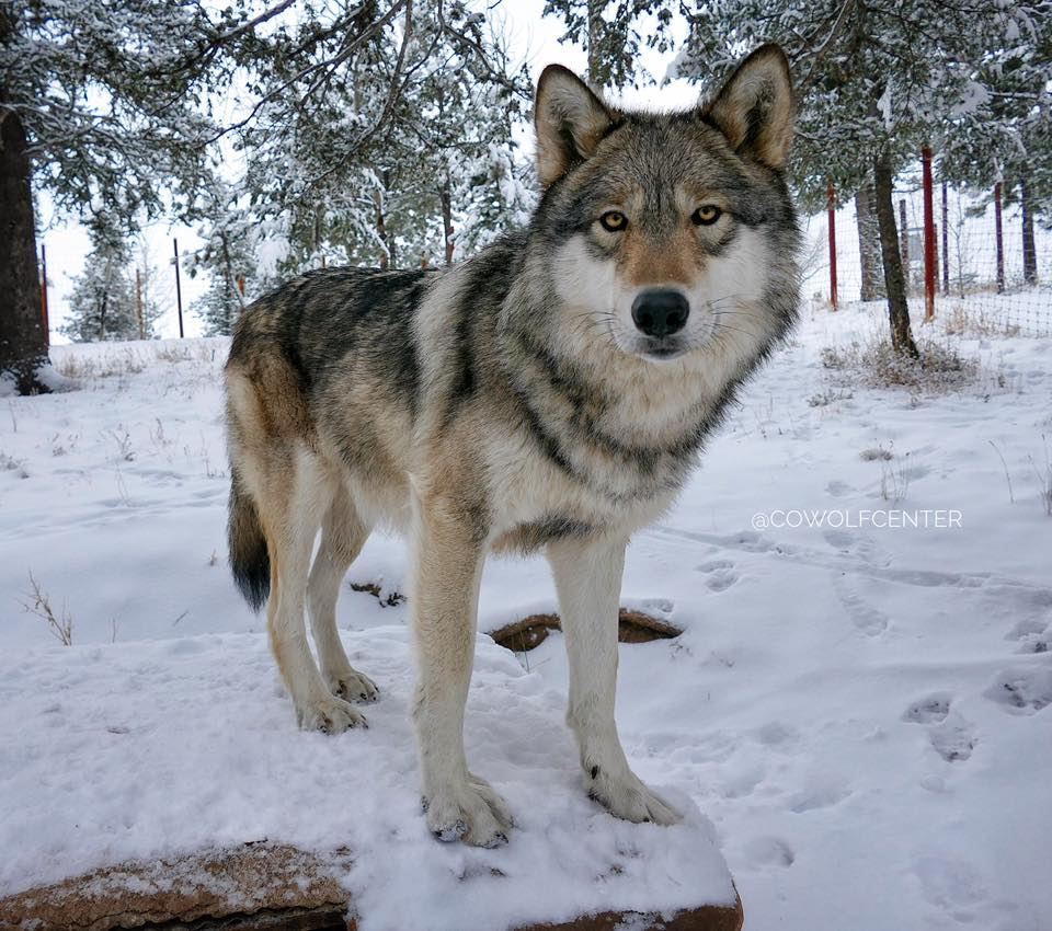 image of a gray wolf
