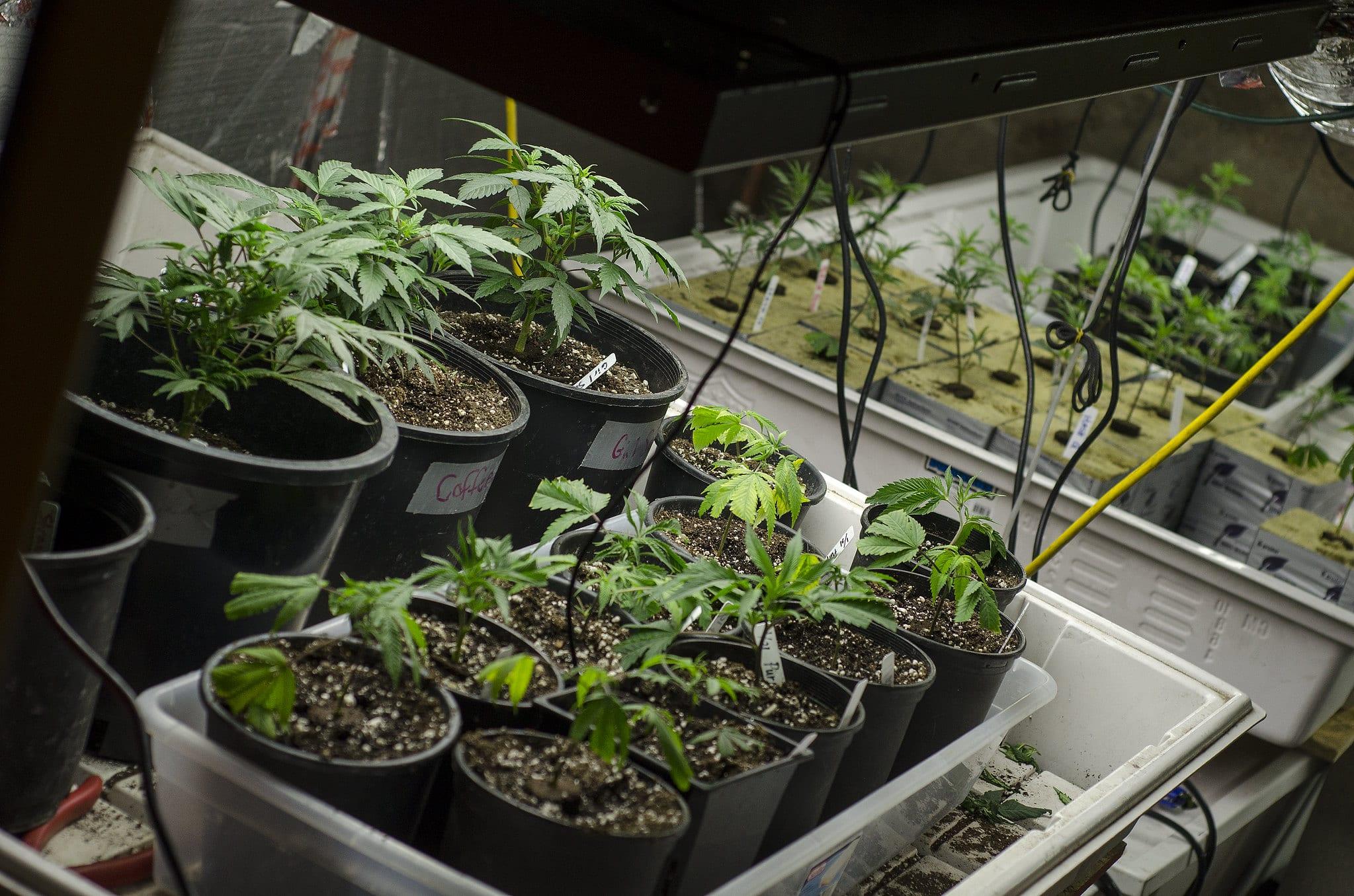 image of marijuana plant