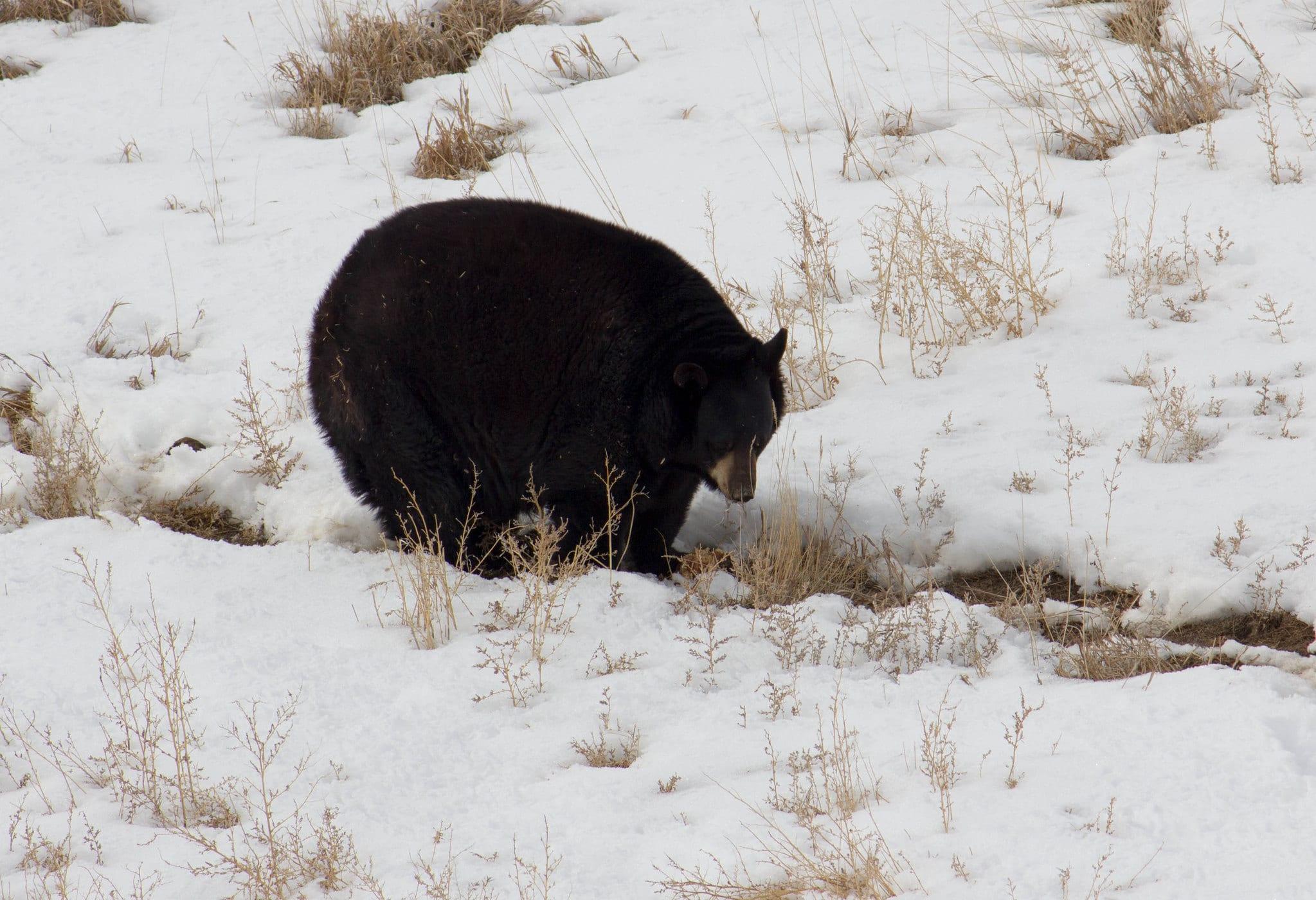 image of a black bear at wild animal sanctuary