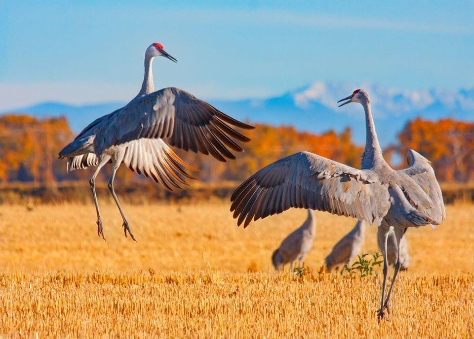 image of sandhill cranes