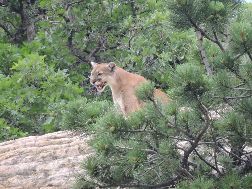 image of mountain lion at Roxborough State park
