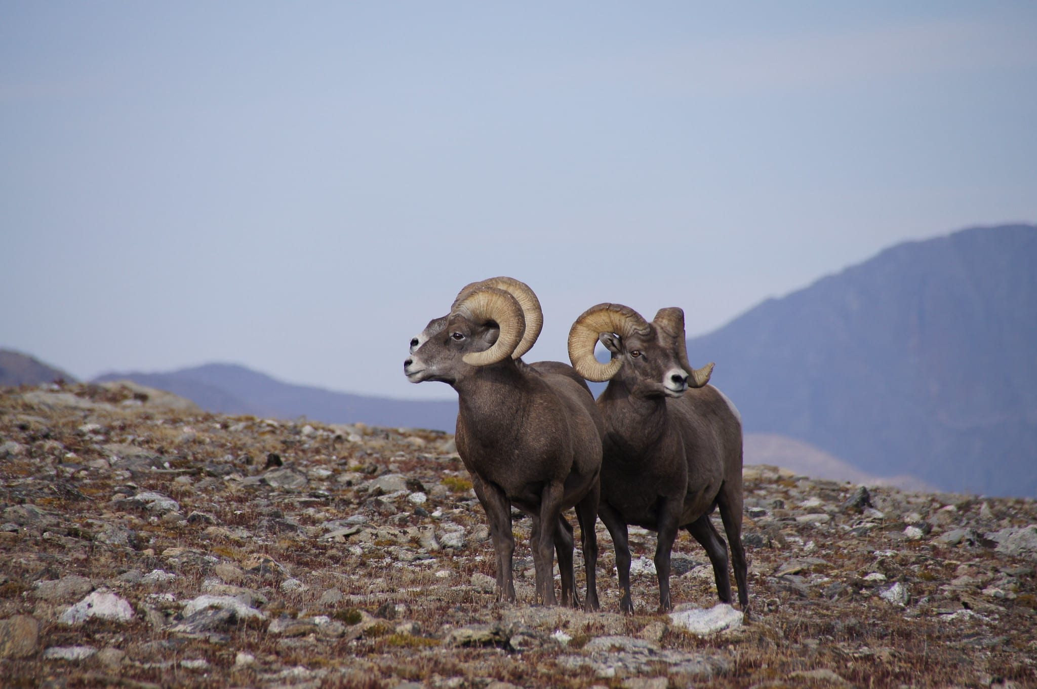 image of bighorn sheep rocky mountain national park