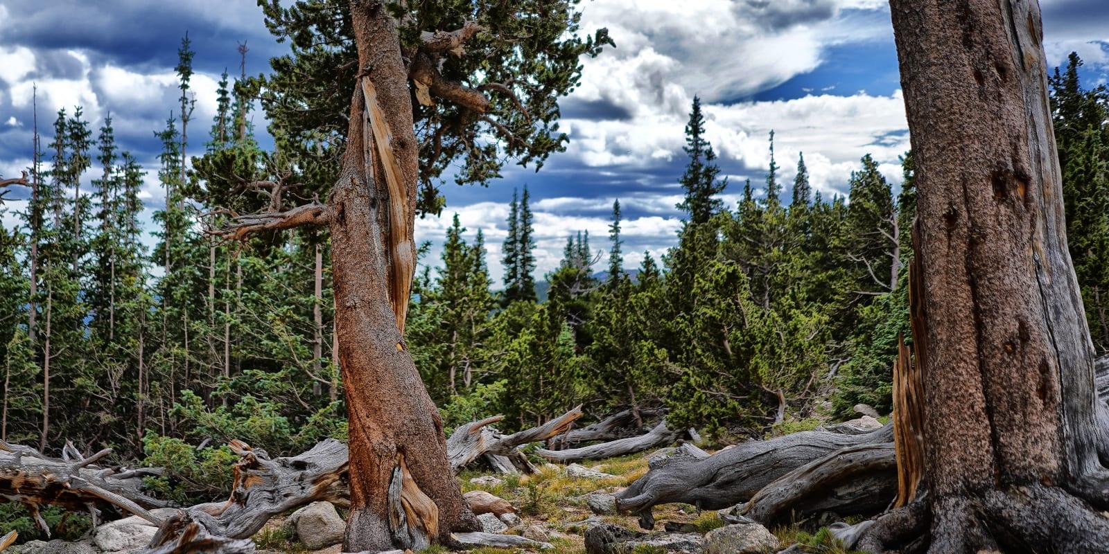 Colorado Tourism Regions Mount Goliath Bristlecone Pines
