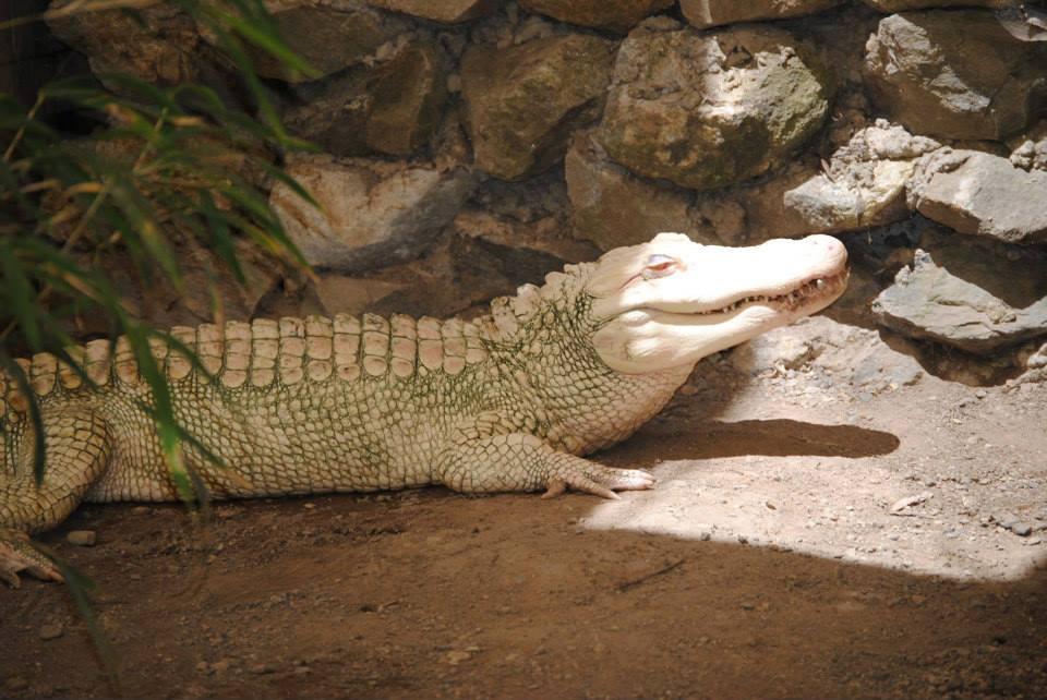 image of albino gator