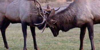 image of Elk Sparring