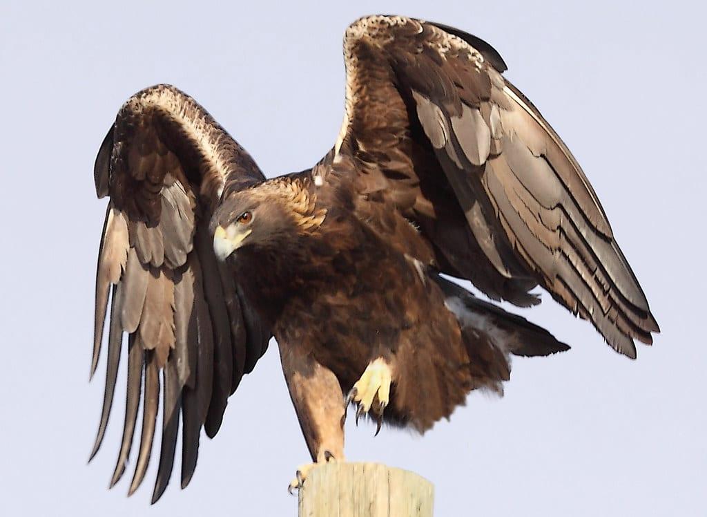 image of male golden eagle