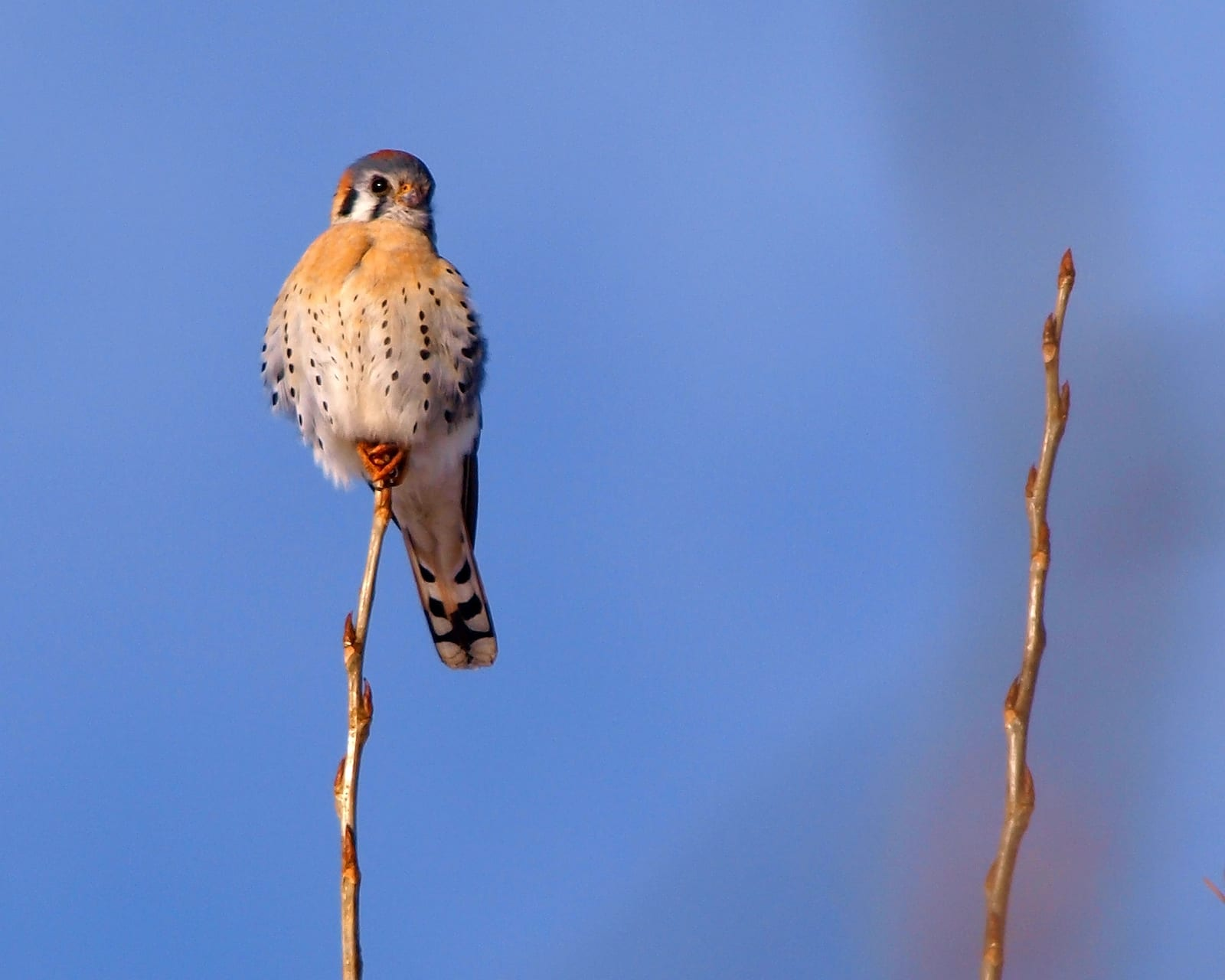 American Kestrel, Colorado