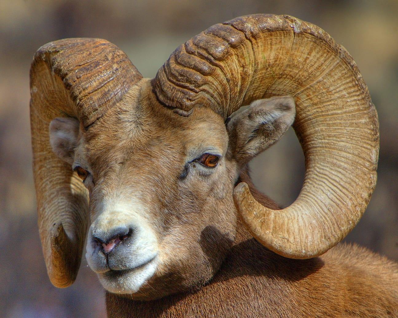 Bighorn Sheep, CO