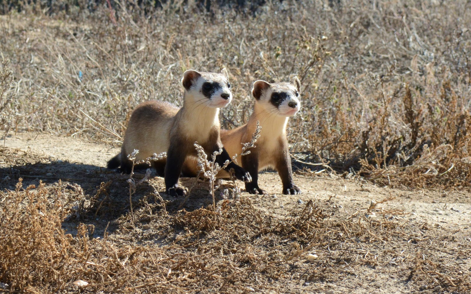 Black-Footed Ferret, Colorado