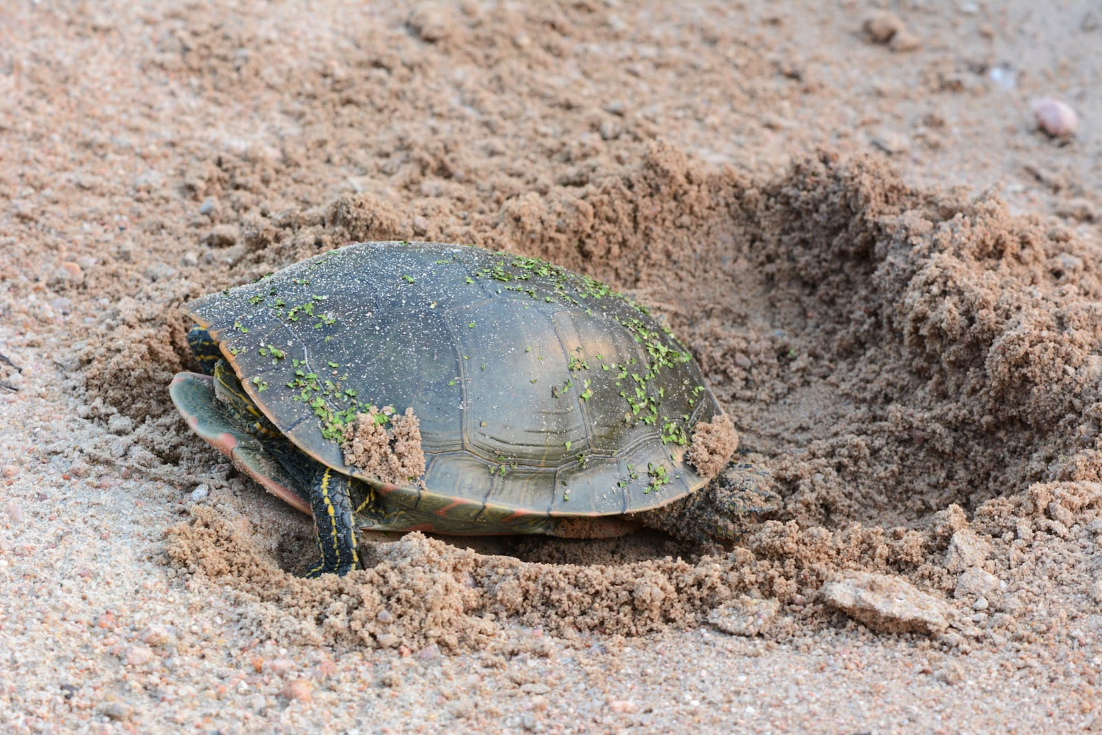 Western painted turtle, Colorado
