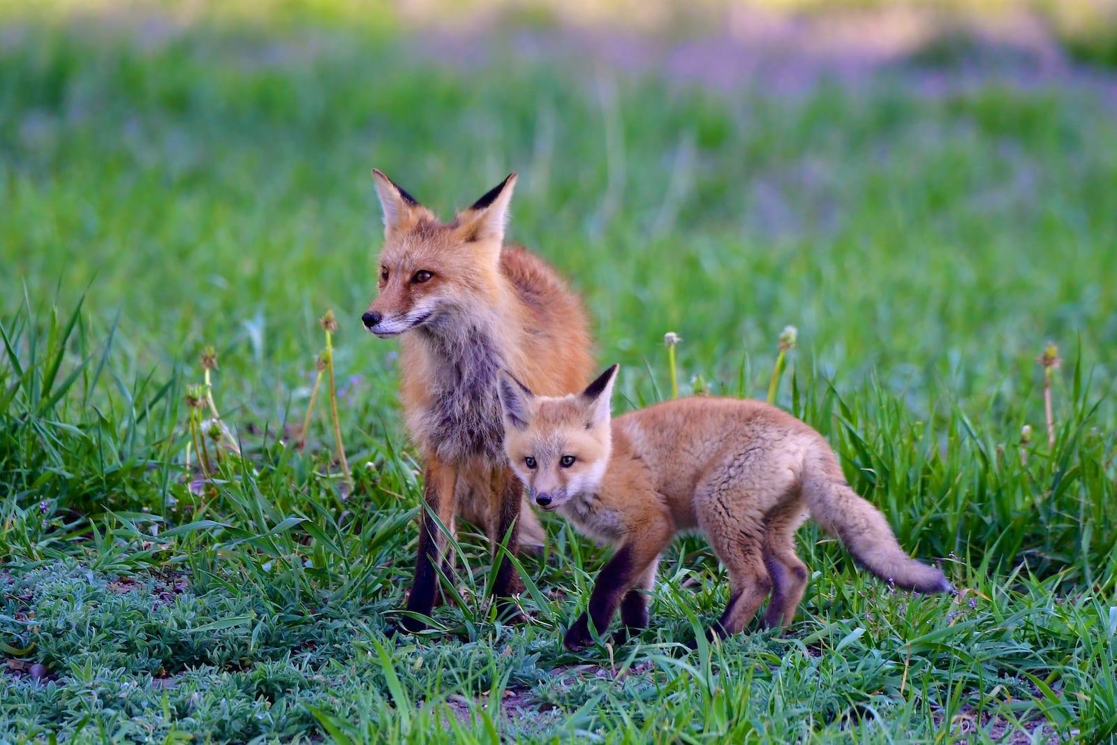 Kit Fox, Colorado