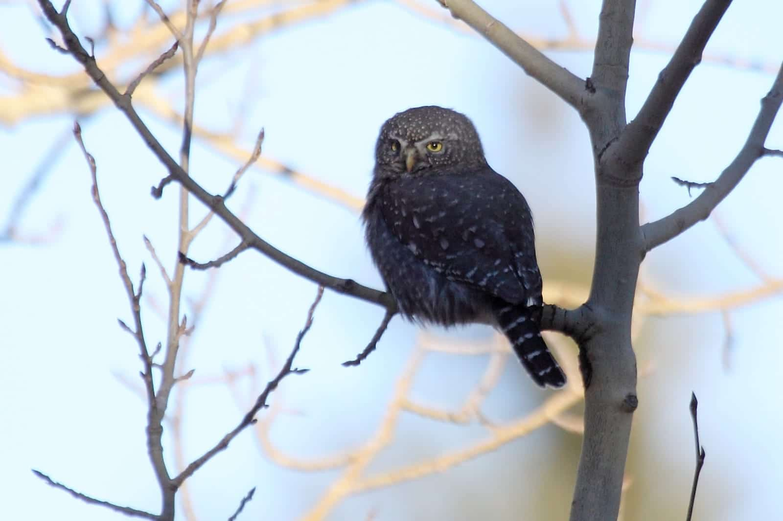 Northern Pygmy-Owl, CO