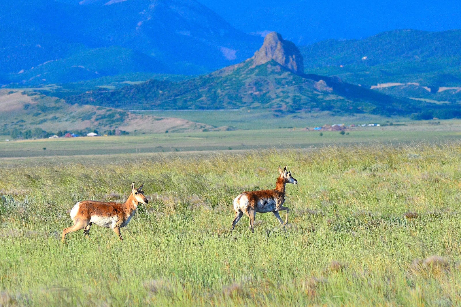Pronghorns, Colorado
