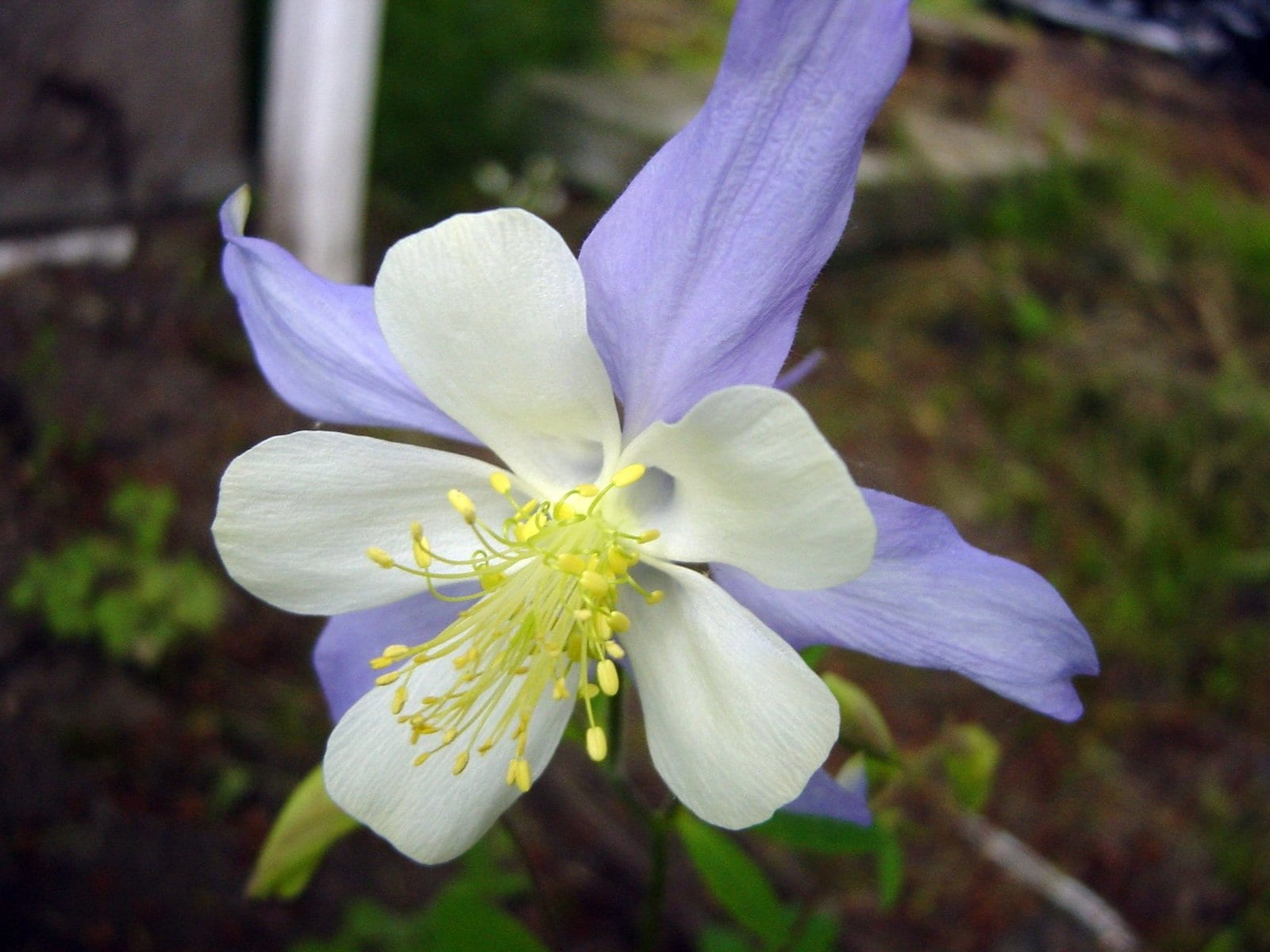 Rocky Mountain columbine