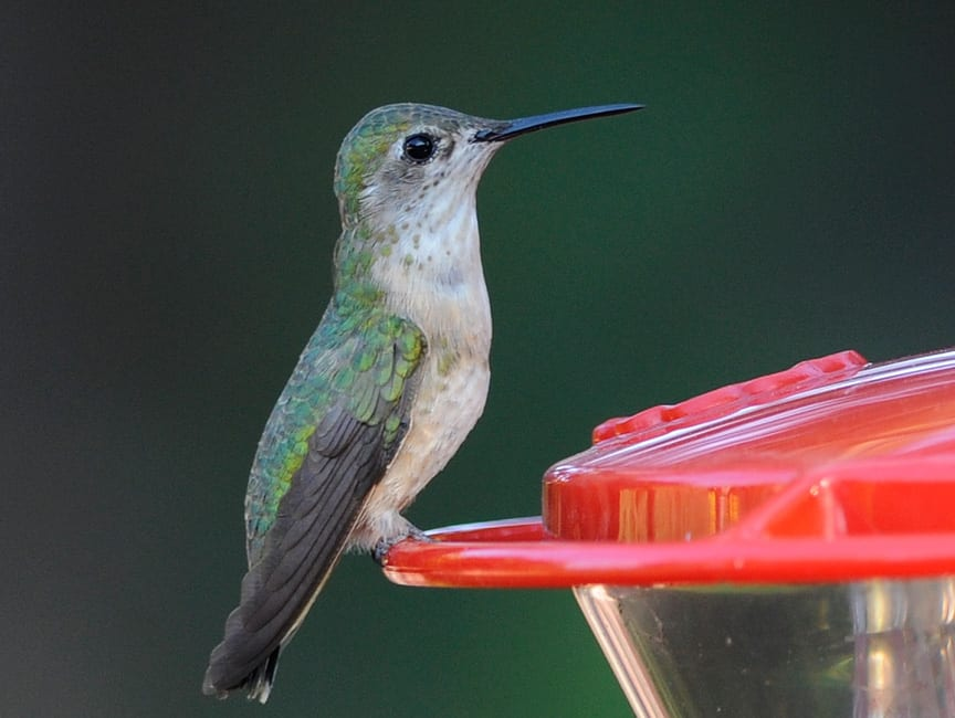 The Calliope Hummingbird, Colorado