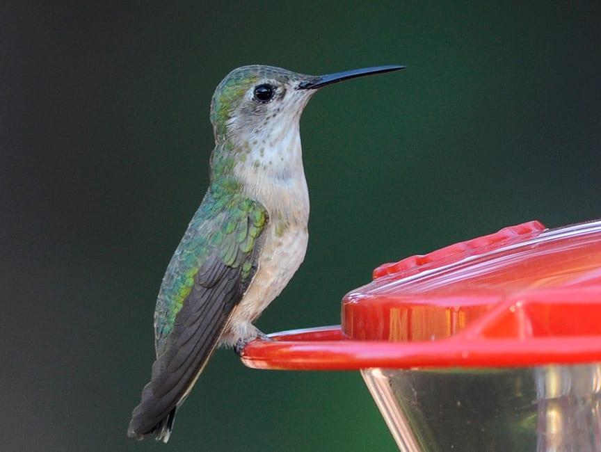 The Calliope Hummingbird, Colorado