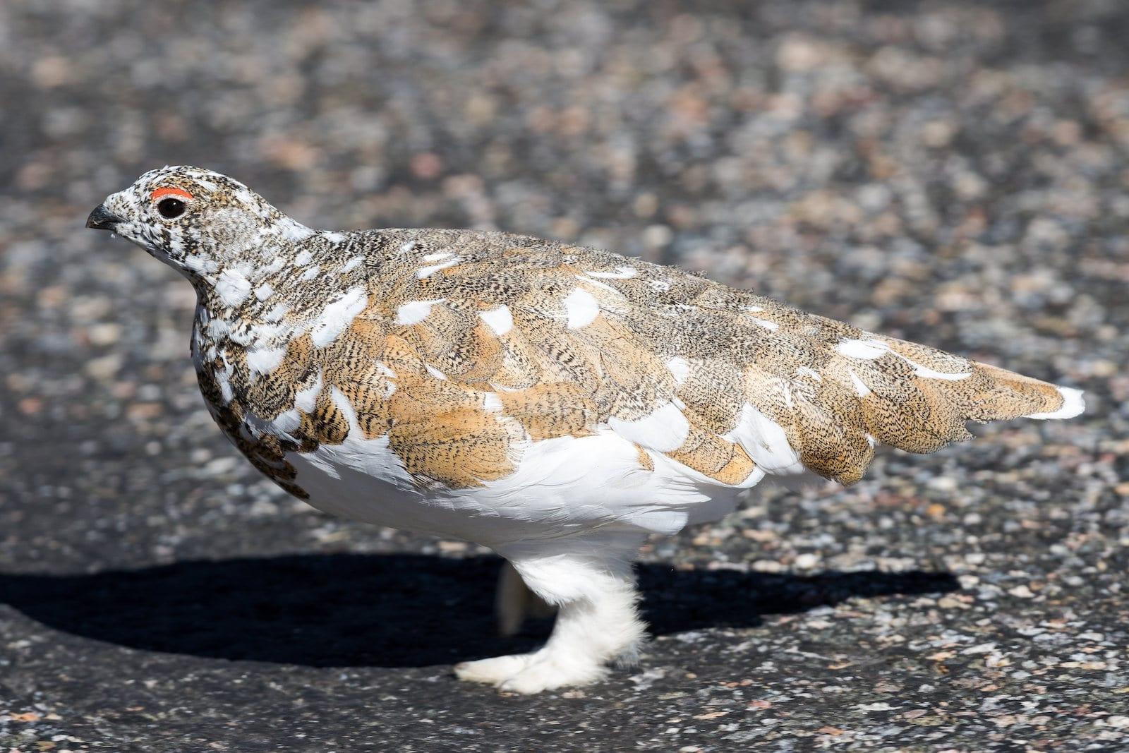 White-Tailed Ptarmigan, Colorado