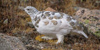 White-Tailed Ptarmigan, Co