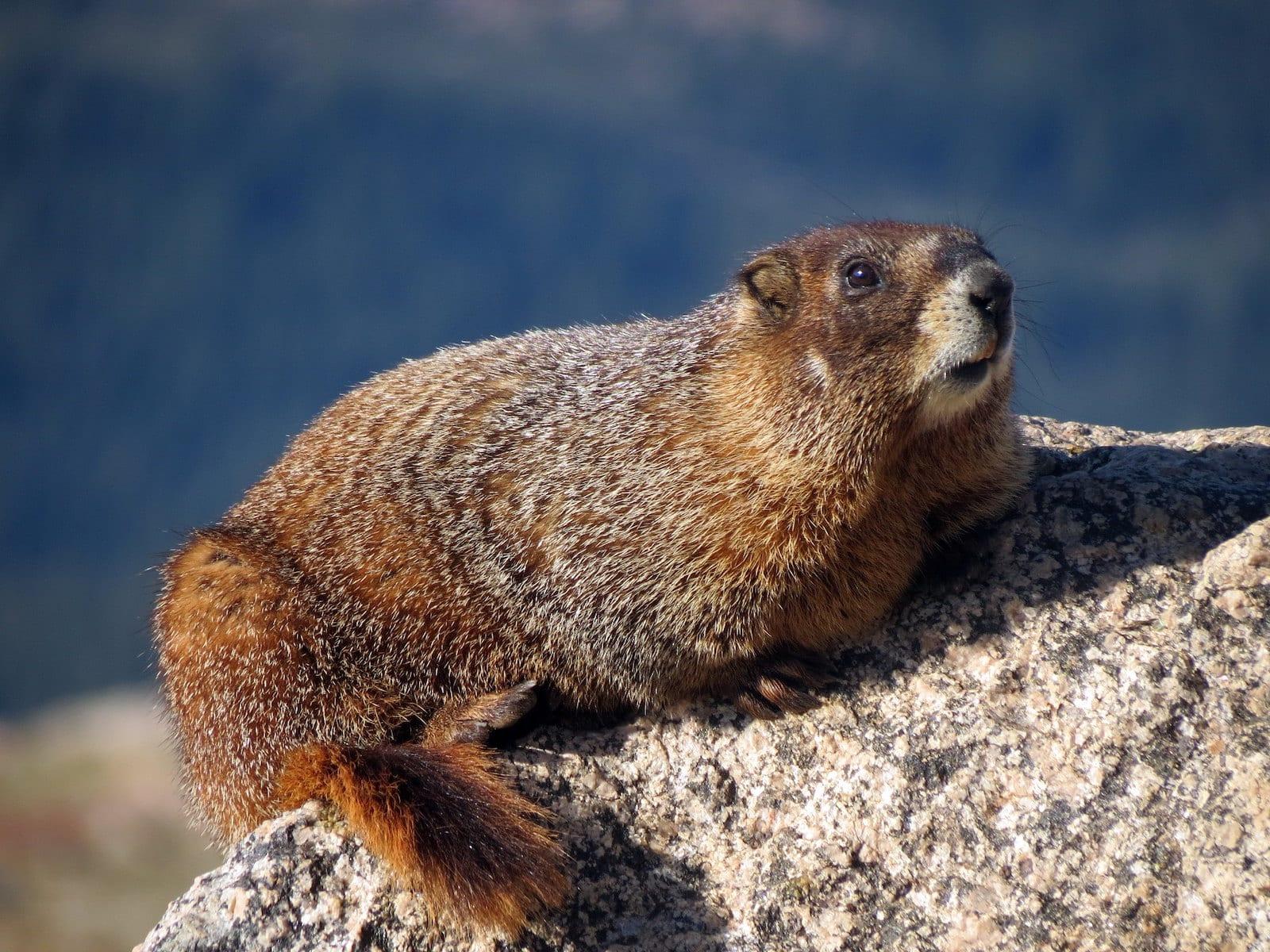 Yellow-Bellied Marmot, Colorado