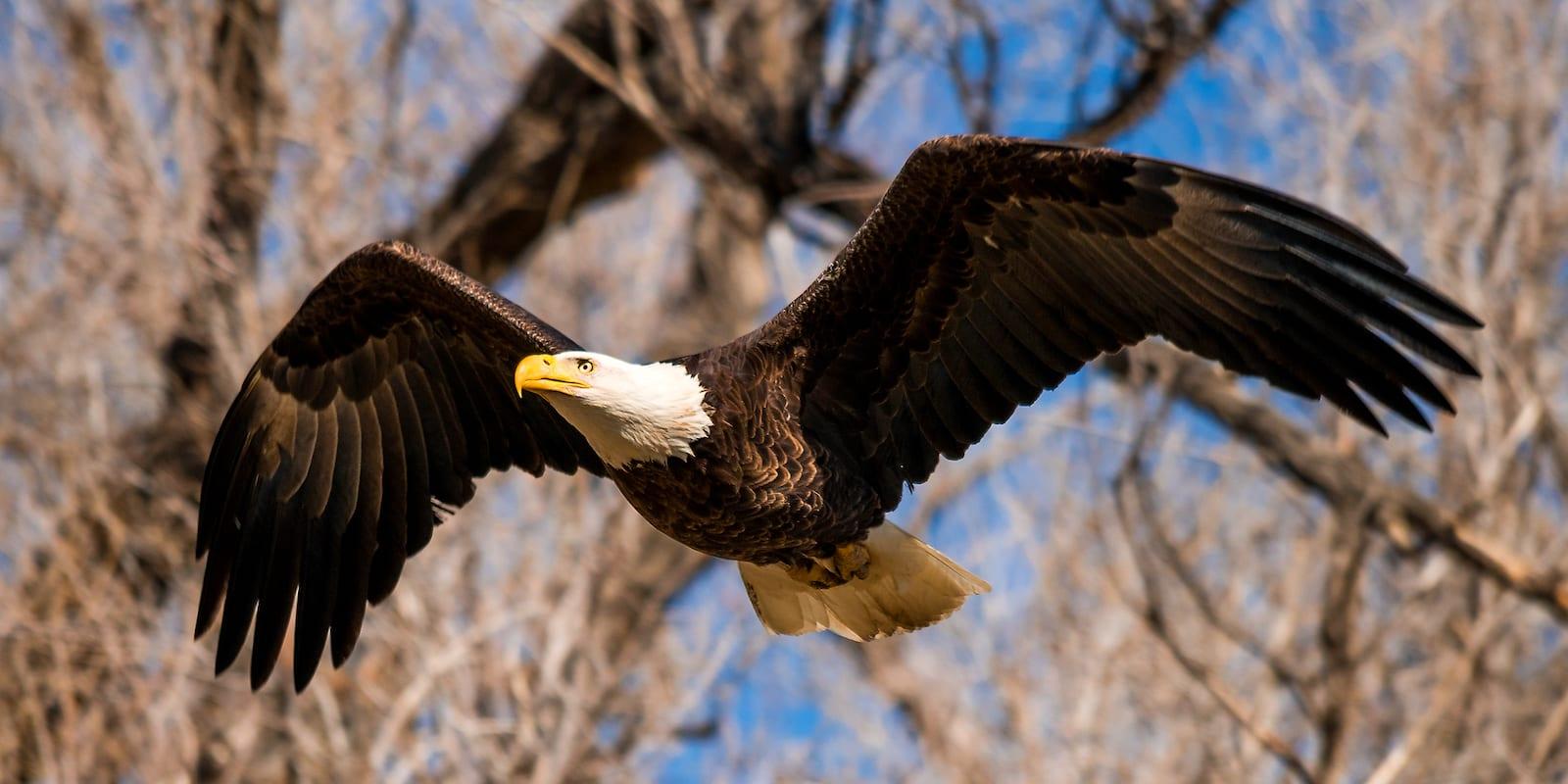 Bald Eagle, CO