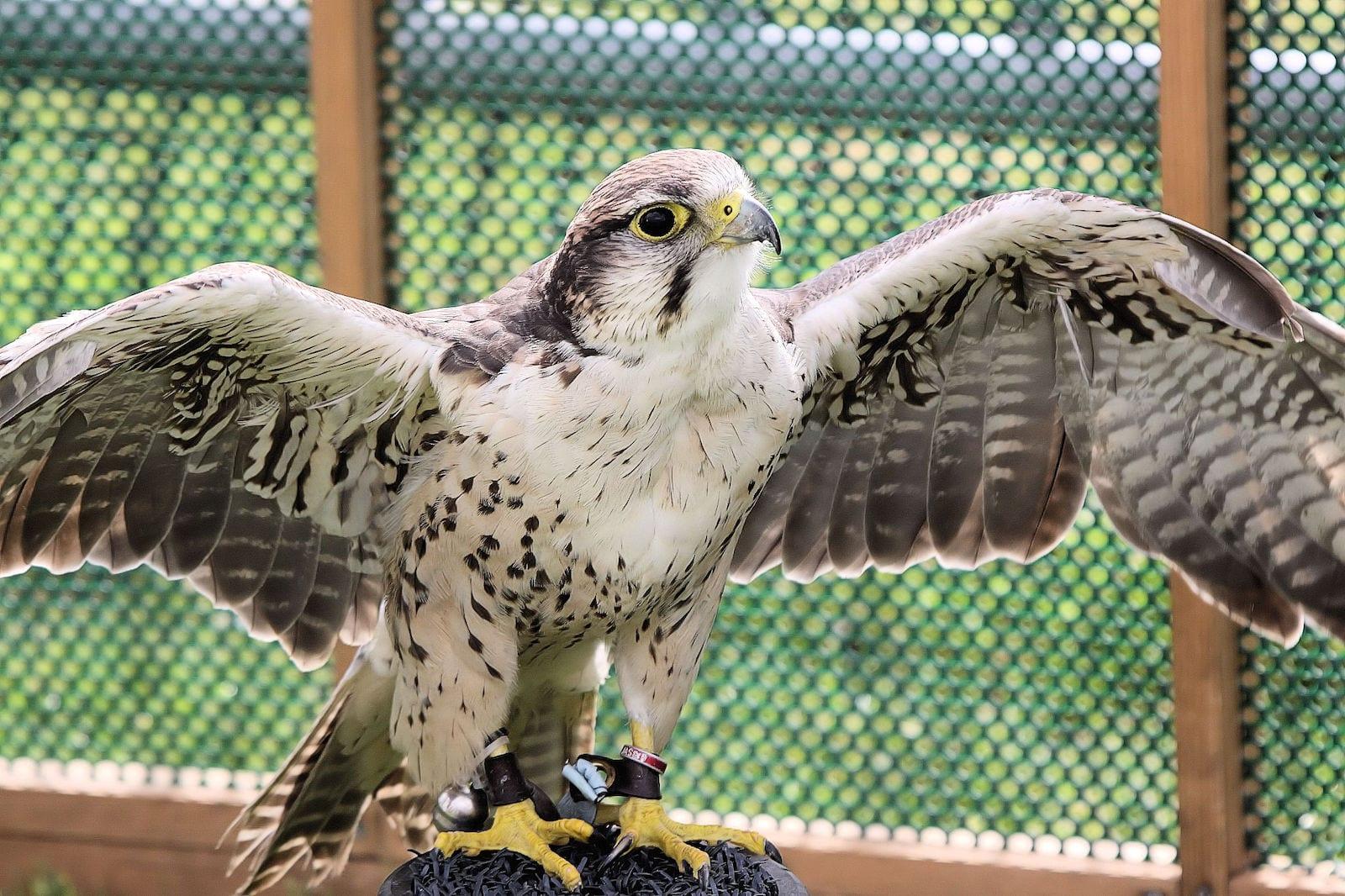 American Peregrine Falcon, CO