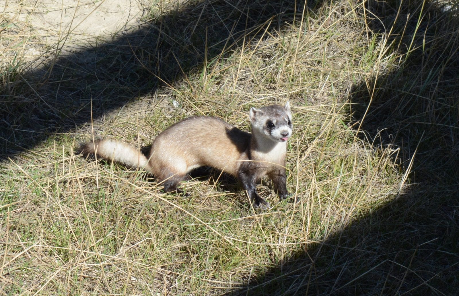 Black-Footed Ferret, CO