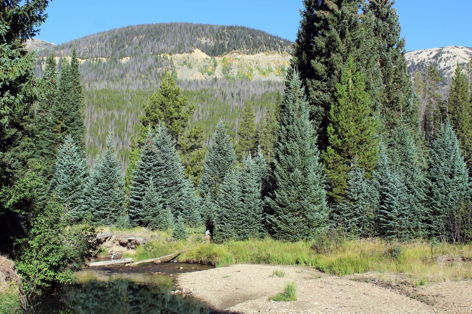 Blue Spruce Colorado
